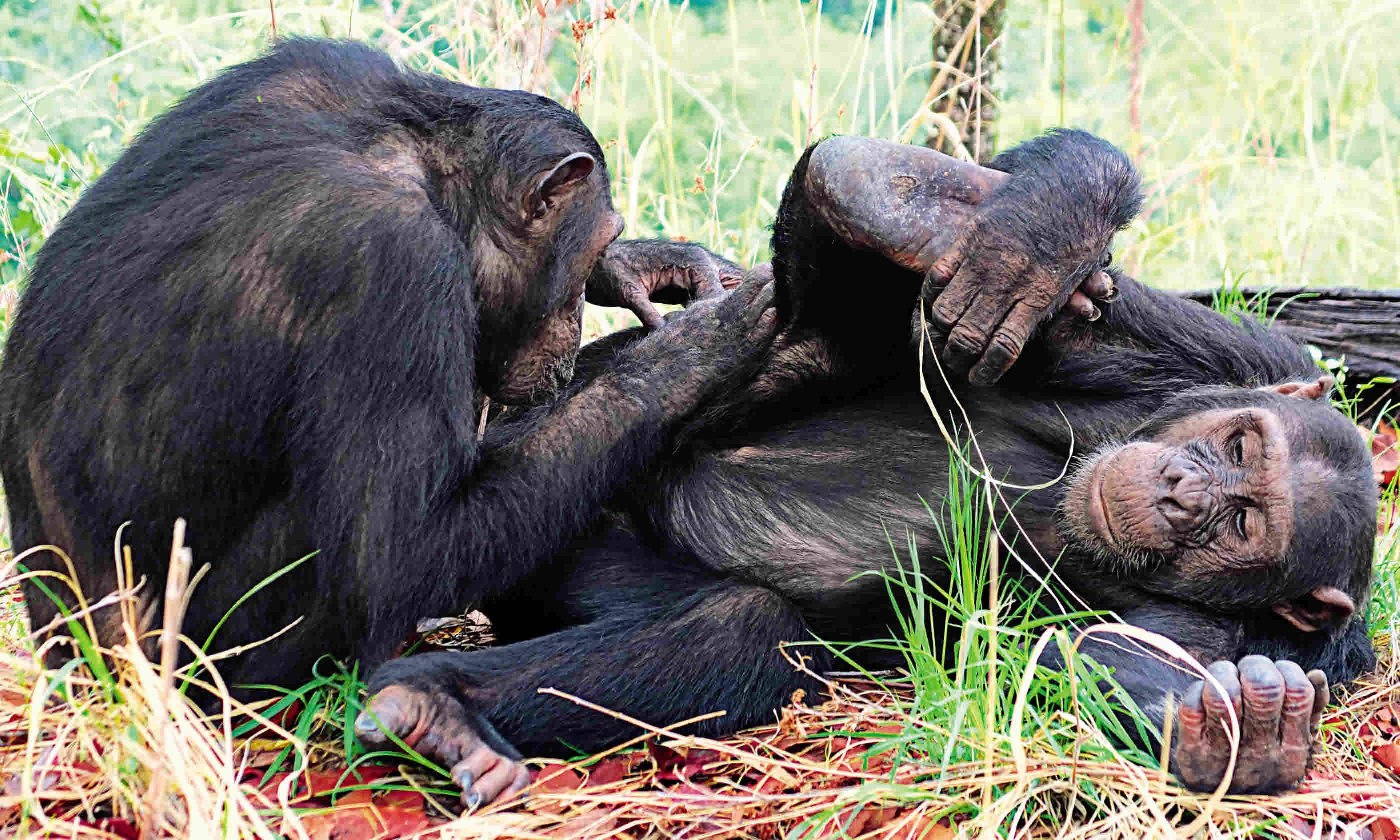 Grooming is a good bonding experience for the chimps (Sarah Gilbert)