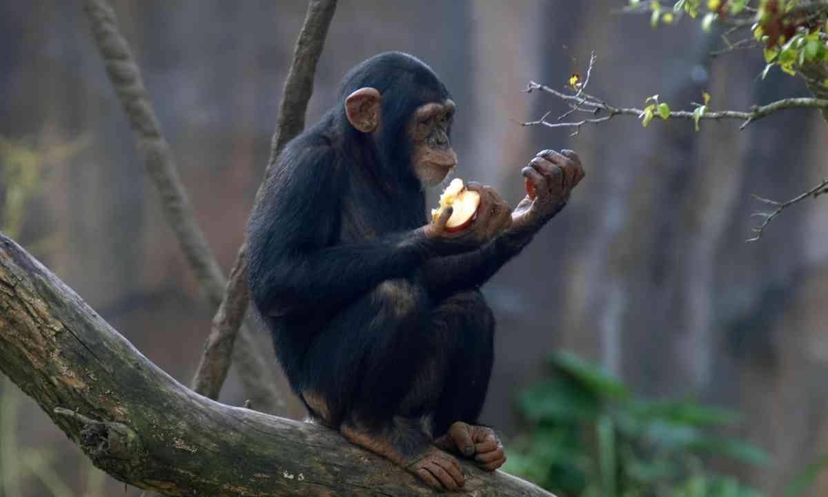 Chimpanzee eating apple (Shutterstock)