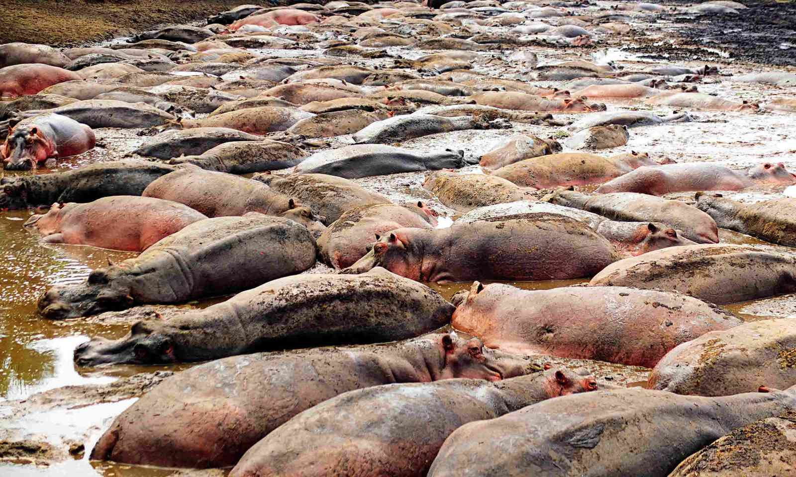 Hippos at the Katuma River (Sarah Gilbert)