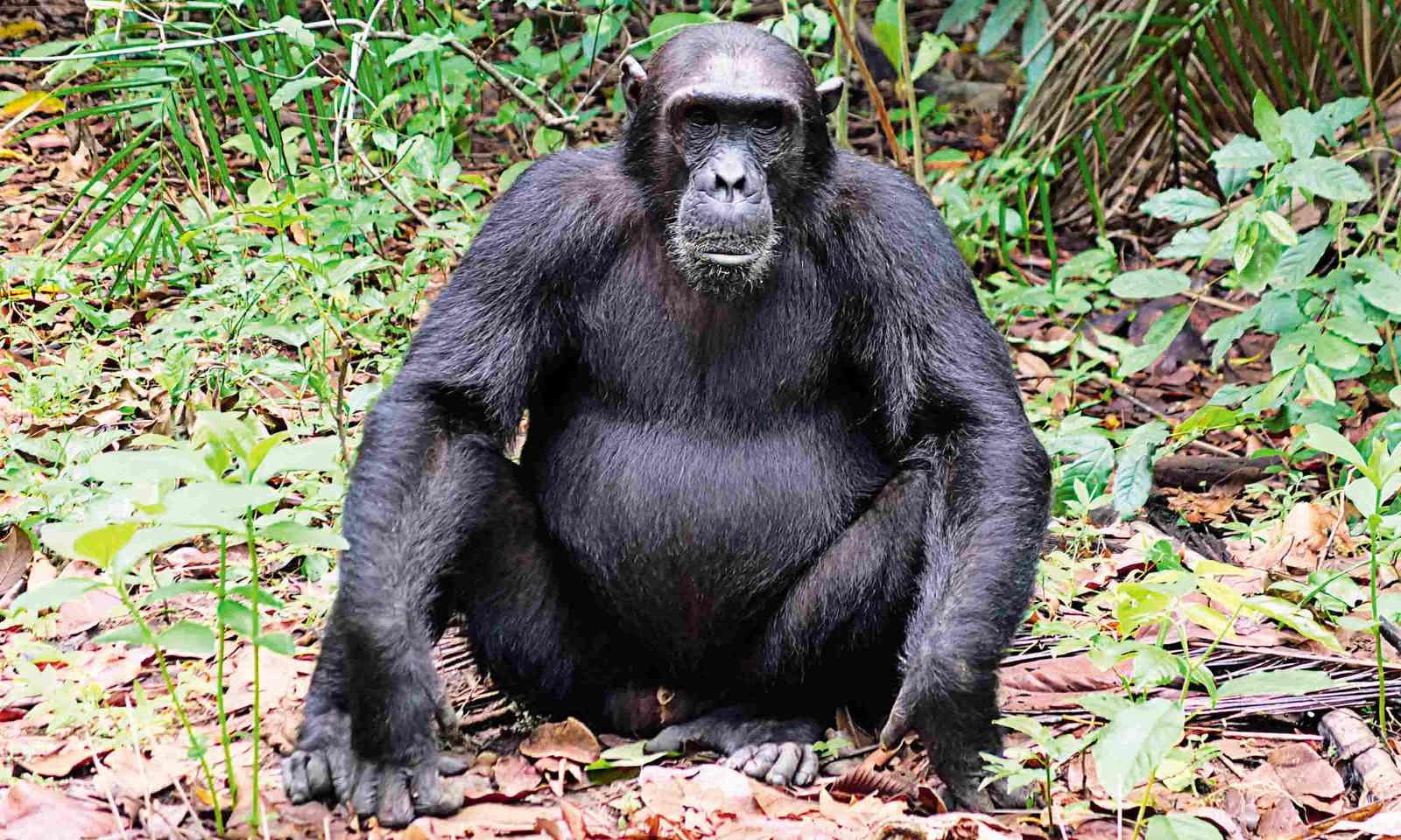 Chimp known as Christmas poses for the cameras (Sarah Gilbert)
