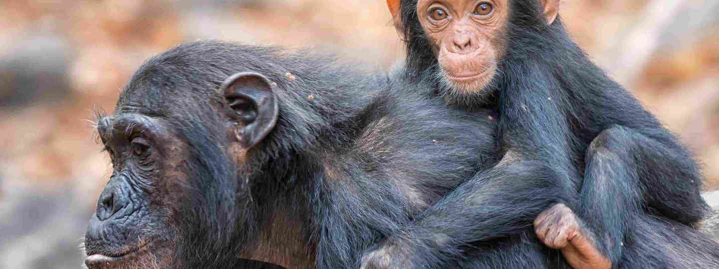 Mother and baby chimpanzee (Shutterstock)