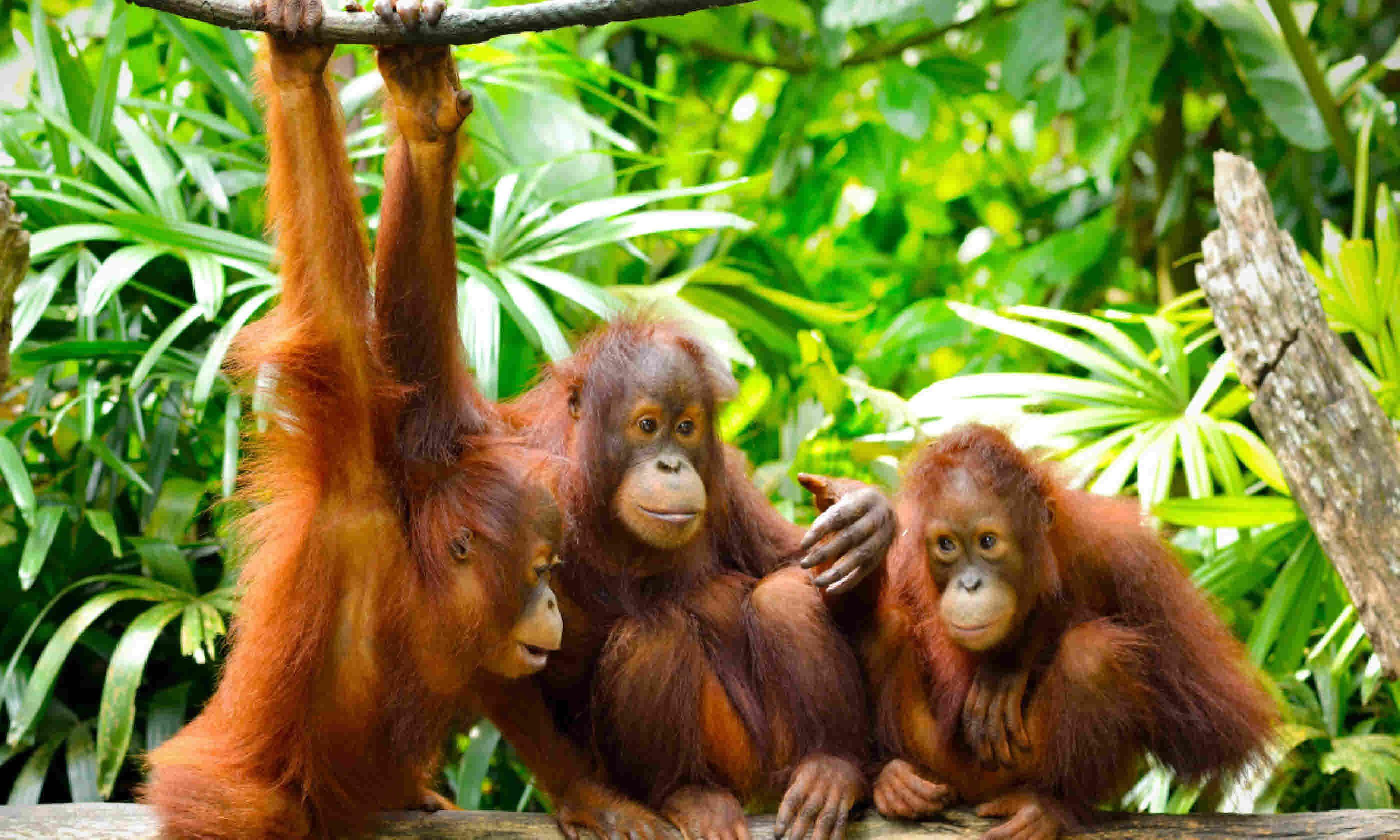 Group of orangutans (Shutterstock)