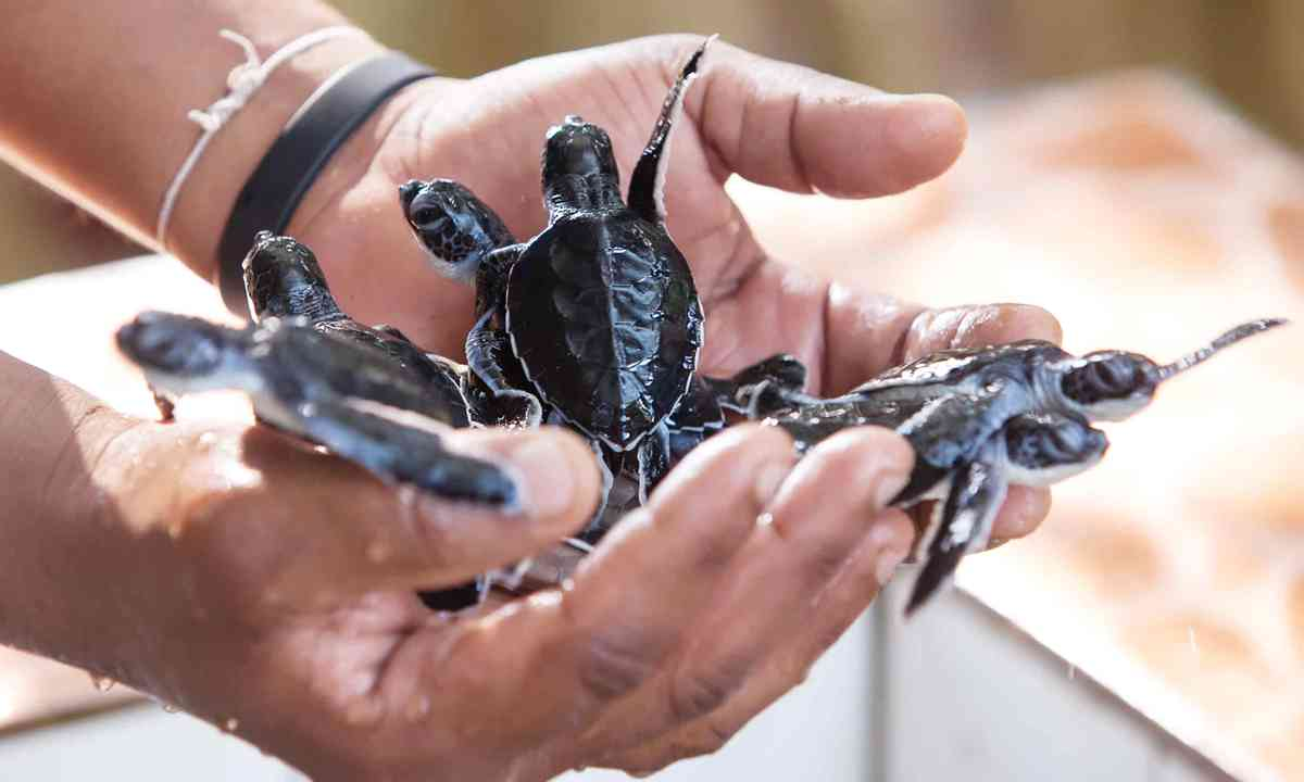 Newly hatched baby turtles (Dreamstime)