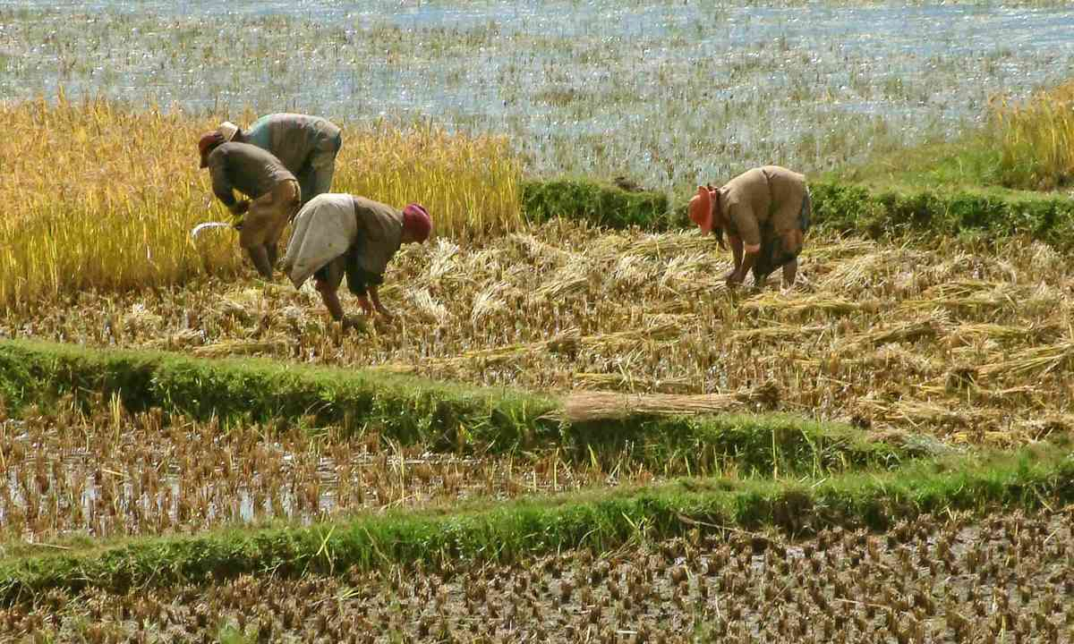 Rice harvesting (Dreamstime)
