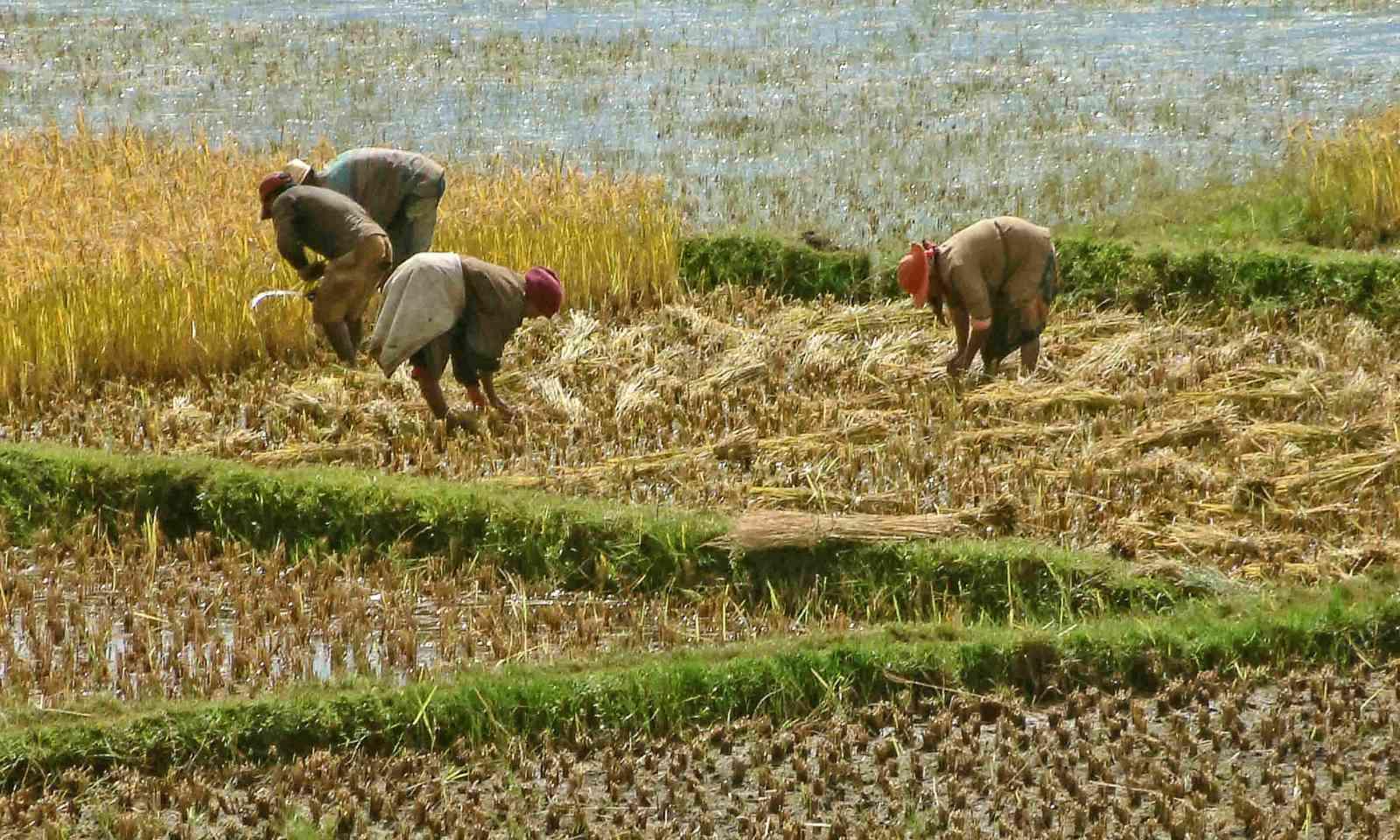 Rice harvesting (Dreamstime)