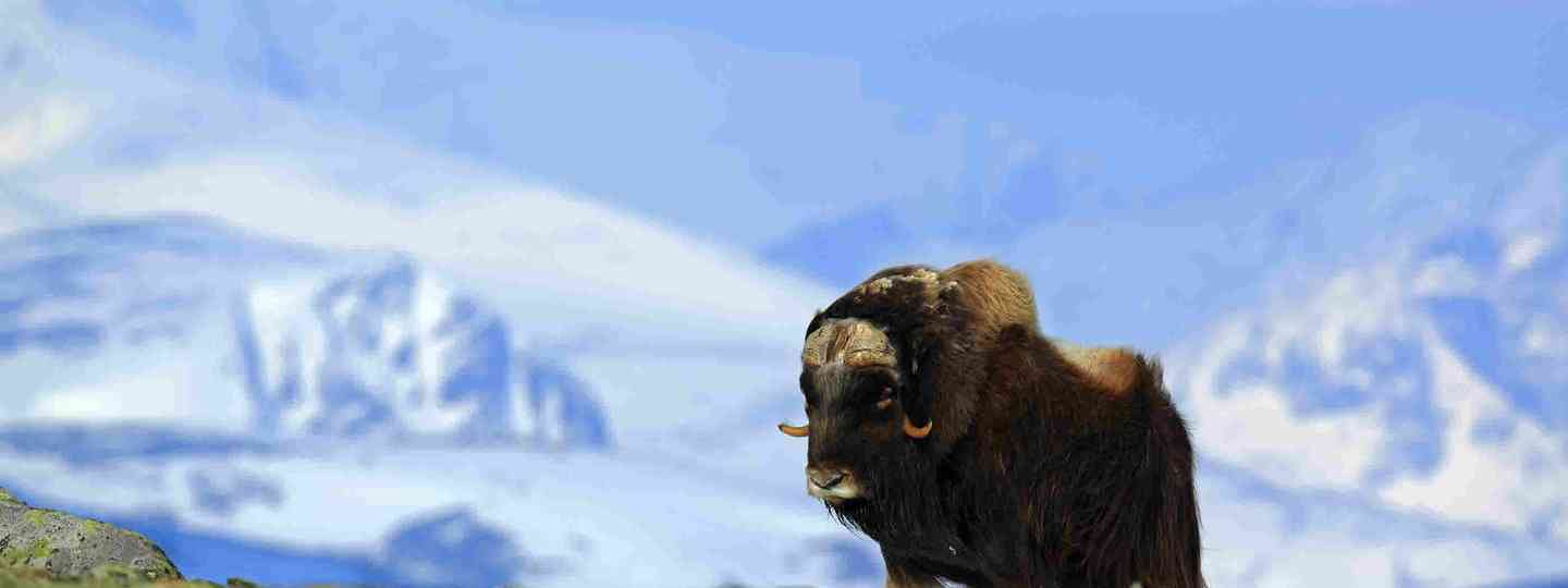 Musk ox in Greenland (Dreamstime)