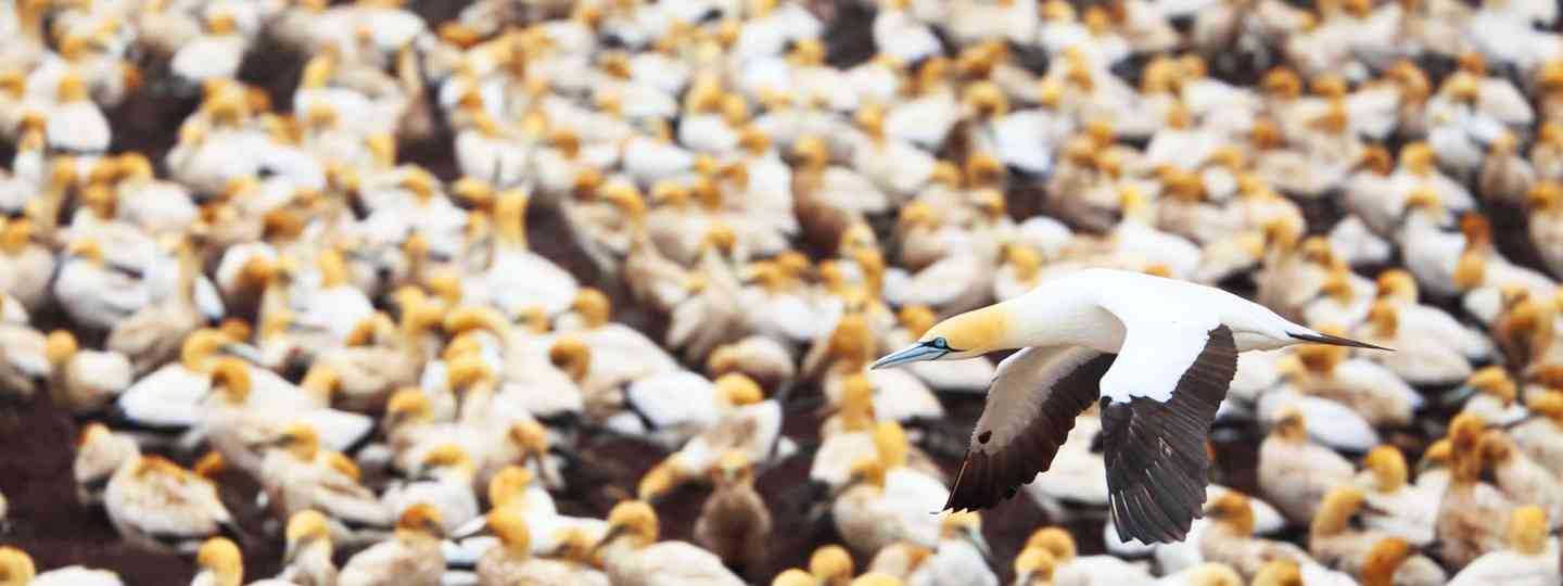 Gannets at Lamberts Bay, Cape (William Gray)