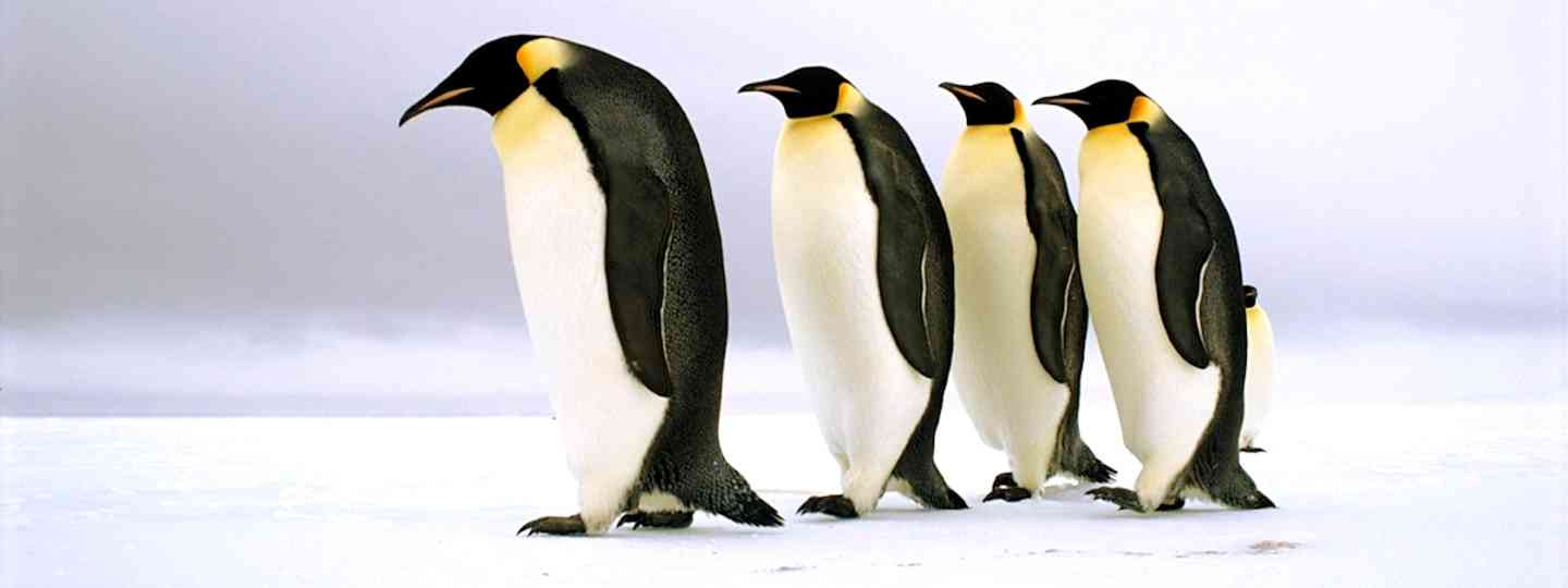 Emperor penguins in Antarctica (BBC)