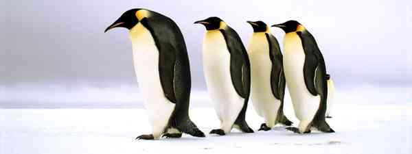 Emperor penguins in Antarctica (BBC)