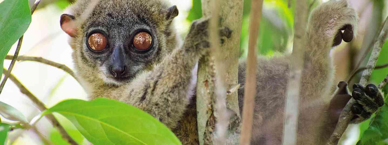 Sportive lemur at Lokobe Nature Reserve (Neil S Price)