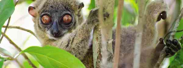 Sportive lemur at Lokobe Nature Reserve (Neil S Price)