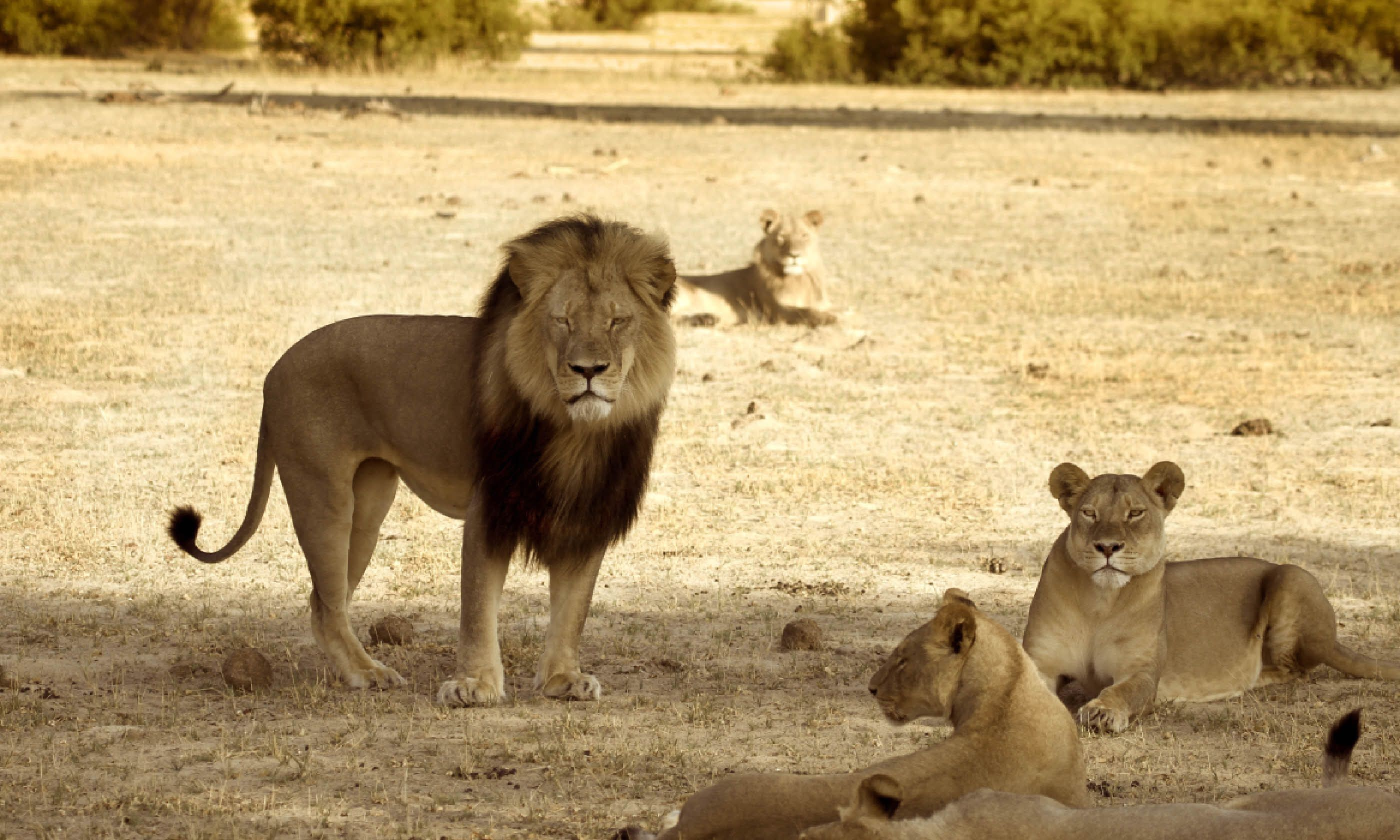 Cecil with his pride in Hwange National Park (Shutterstock)