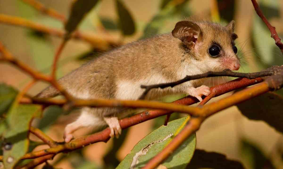 Pygmy possum (Shutterstock.com)