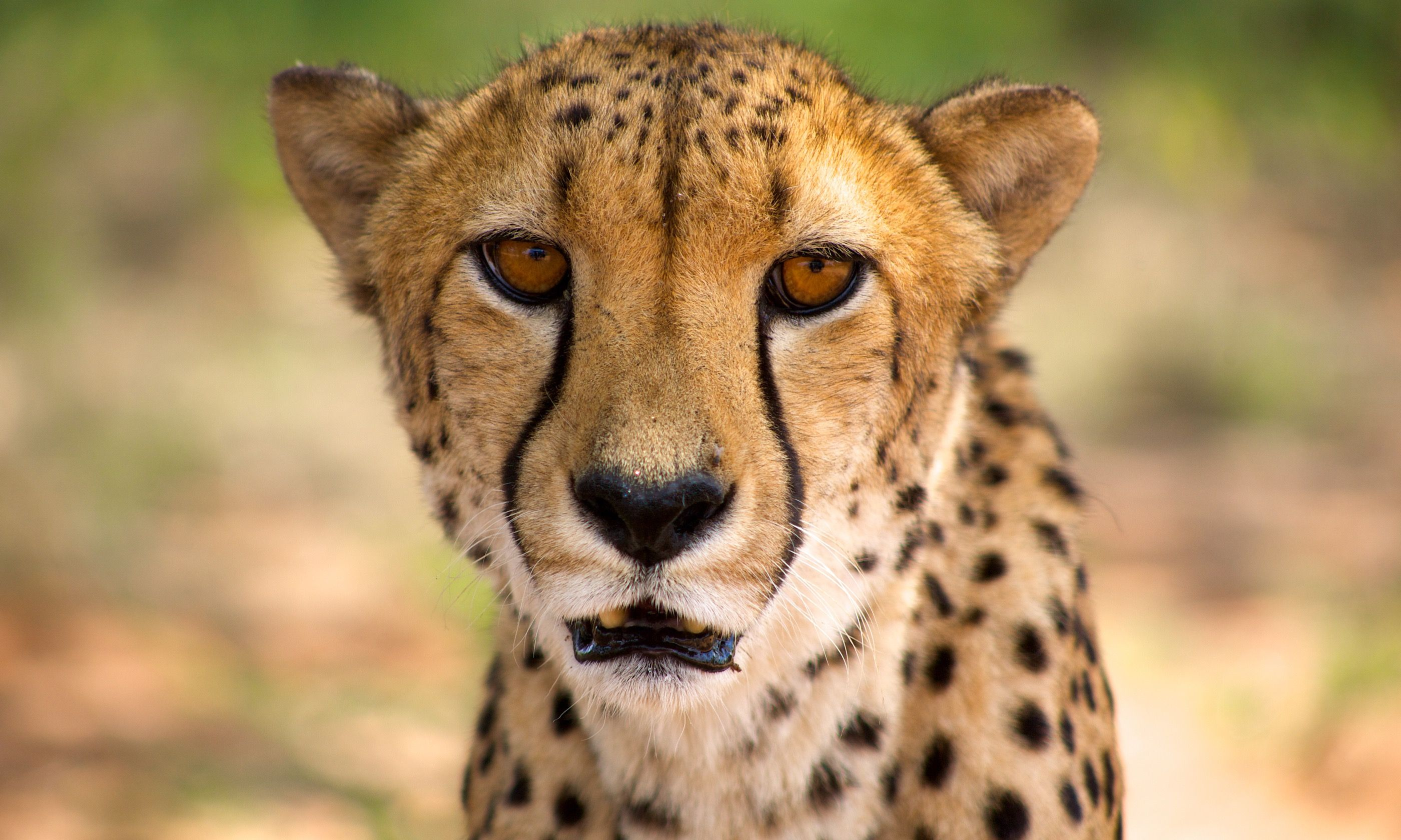 Close-up of cheetah in Harnas (Shutterstock.com)