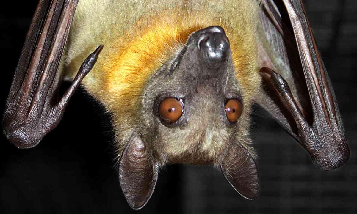 Fruit bat hanging upside down (Shutterstock.com)