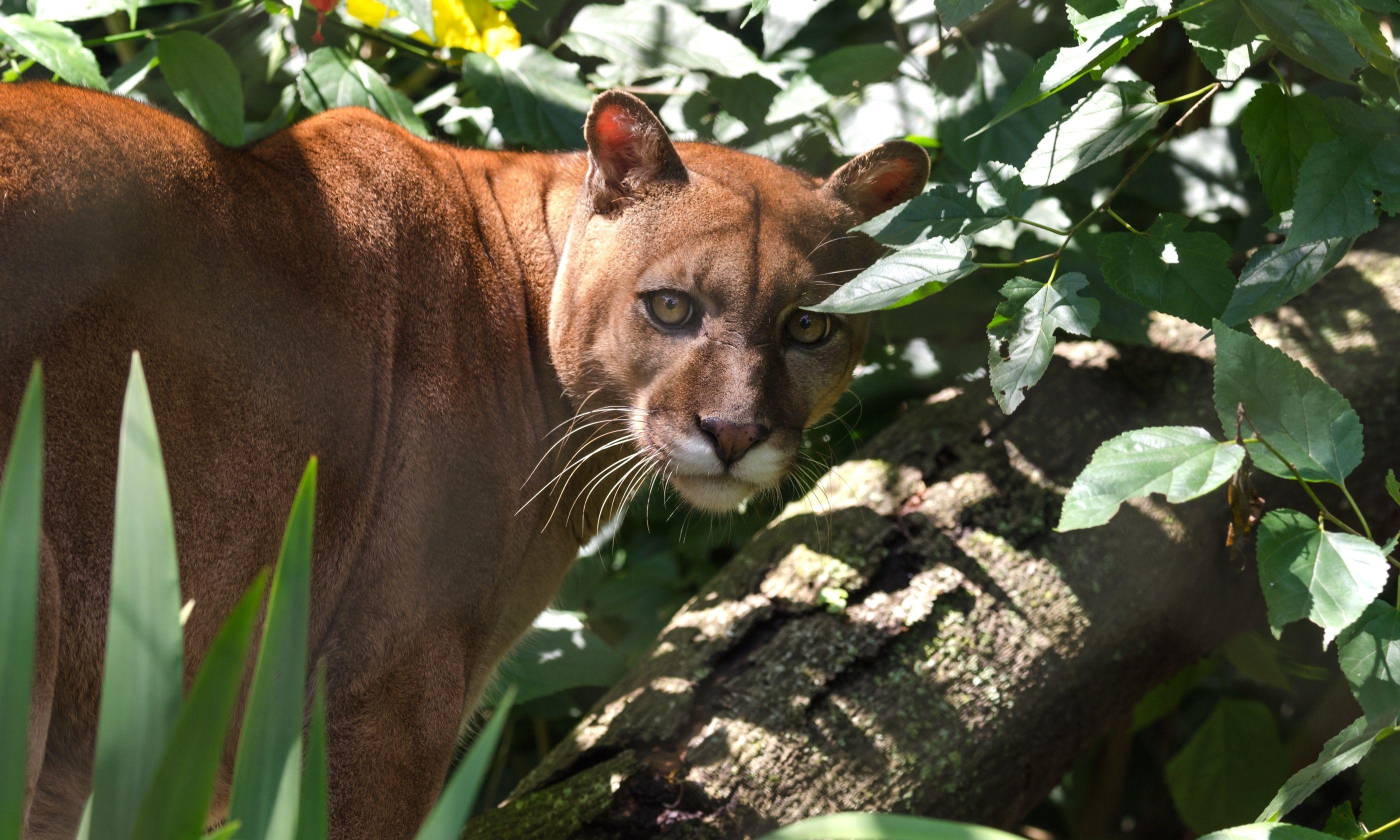 Puma amongst leaves (Shutterstock.com)