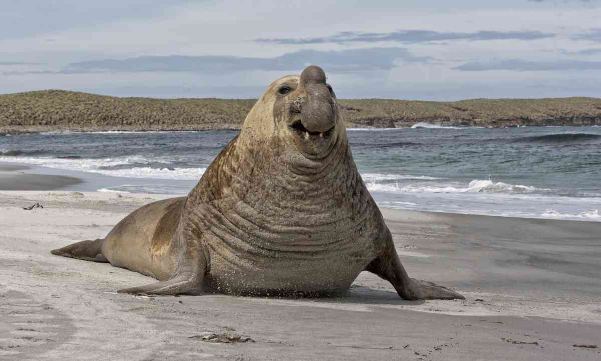 Southern elephant seal (Shutterstock.com)