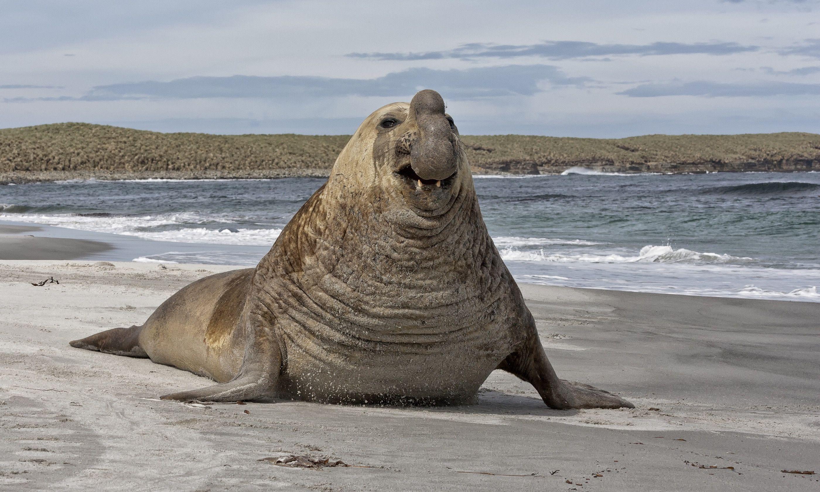Southern elephant seal (Shutterstock.com)