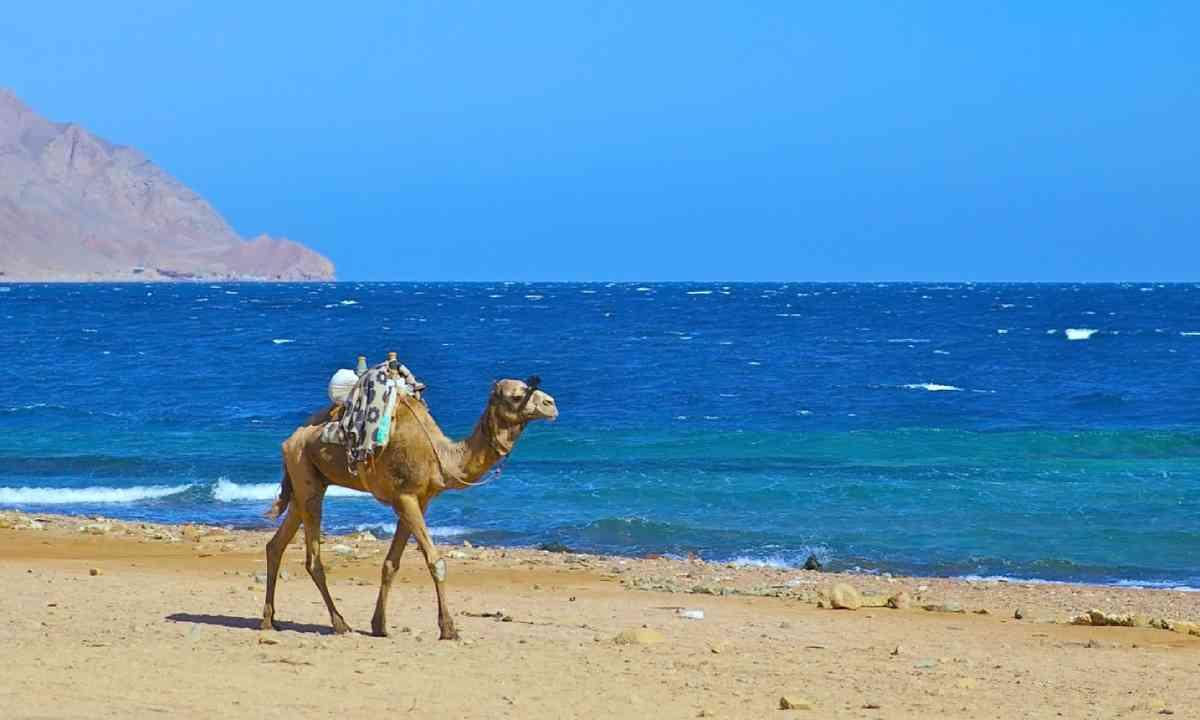 Camel in Dahab, Egypt (Shutterstock)