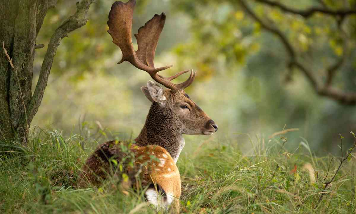 Fallow deer during rutting season (Shutterstock.com)
