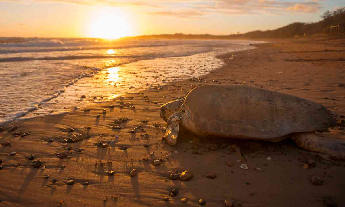 Turtle at sunset (Britt Collins)