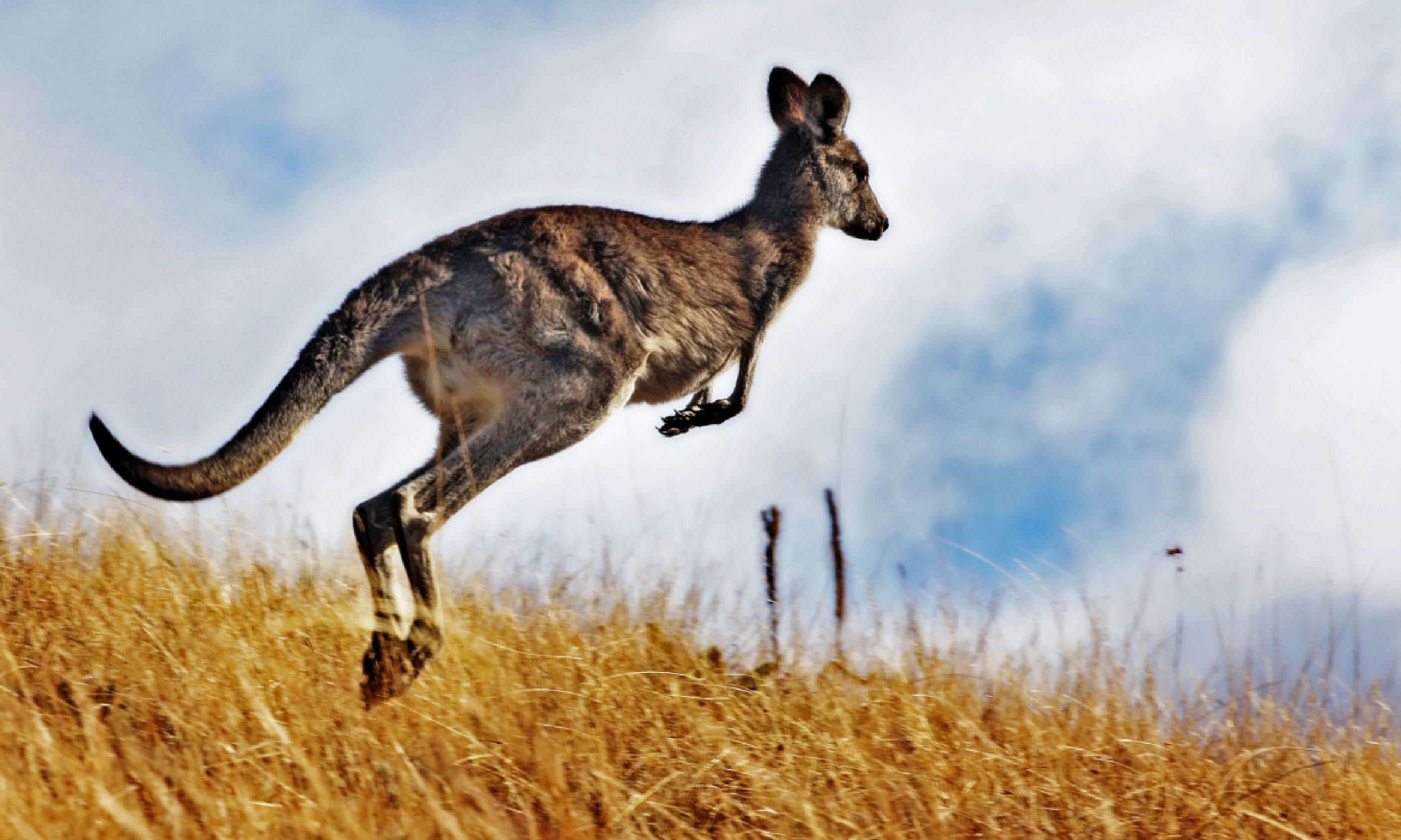 Kangaroo, with its tail intact (Shutterstock)