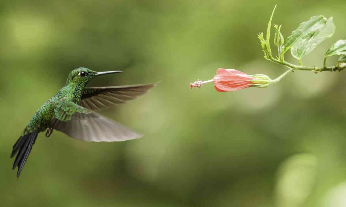 Green Breasted Mango Hummingbird (Shutterstock.com)