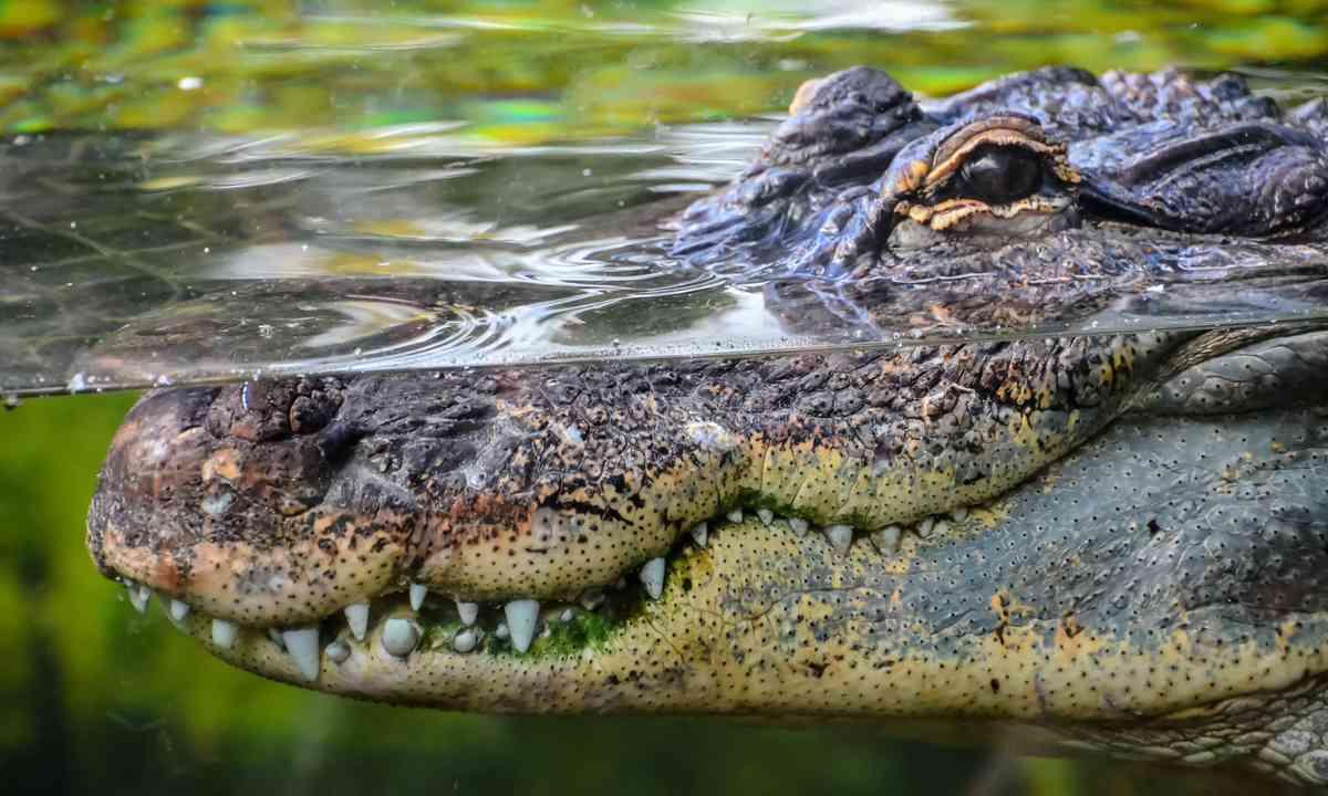 Grinning crocodile (Shutterstock.com)