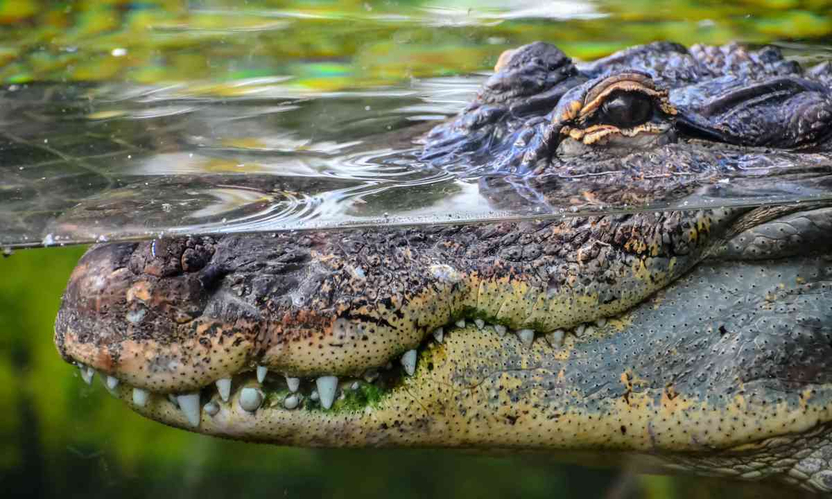 Grinning crocodile (Shutterstock.com)
