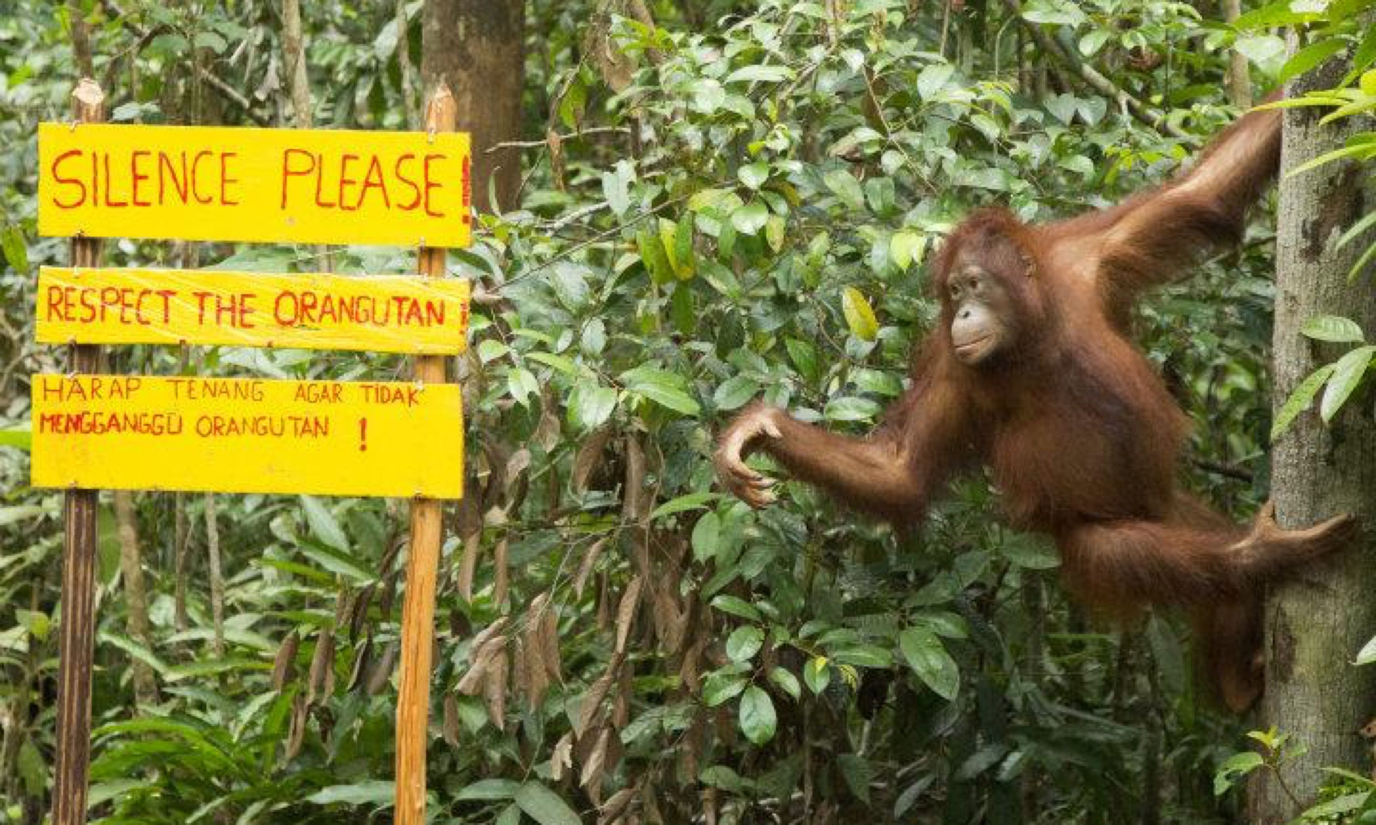 An orangutan points the way (Mauro Cagol)
