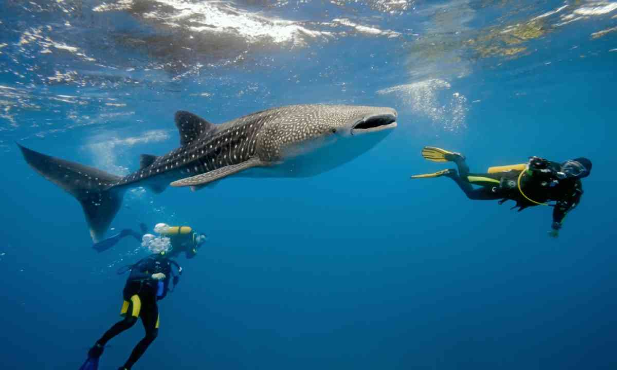 Diving with whale sharks in the Maldives (Shutterstock)