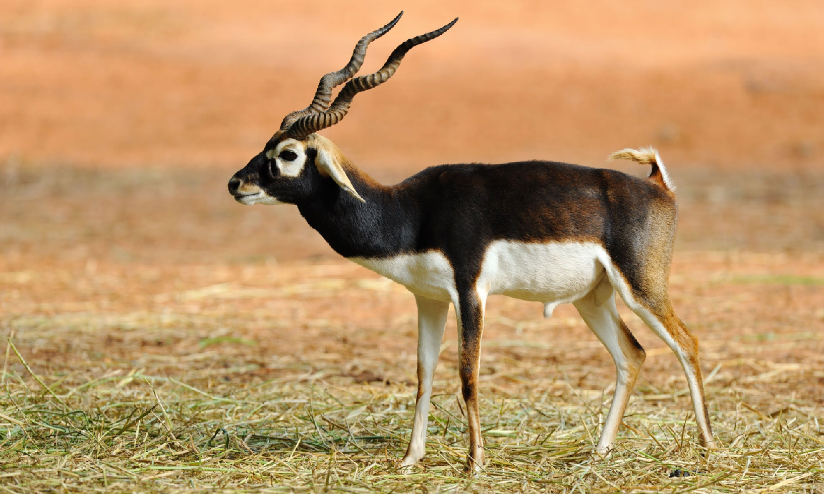 Indian blackbuck antelope (Shutterstock)