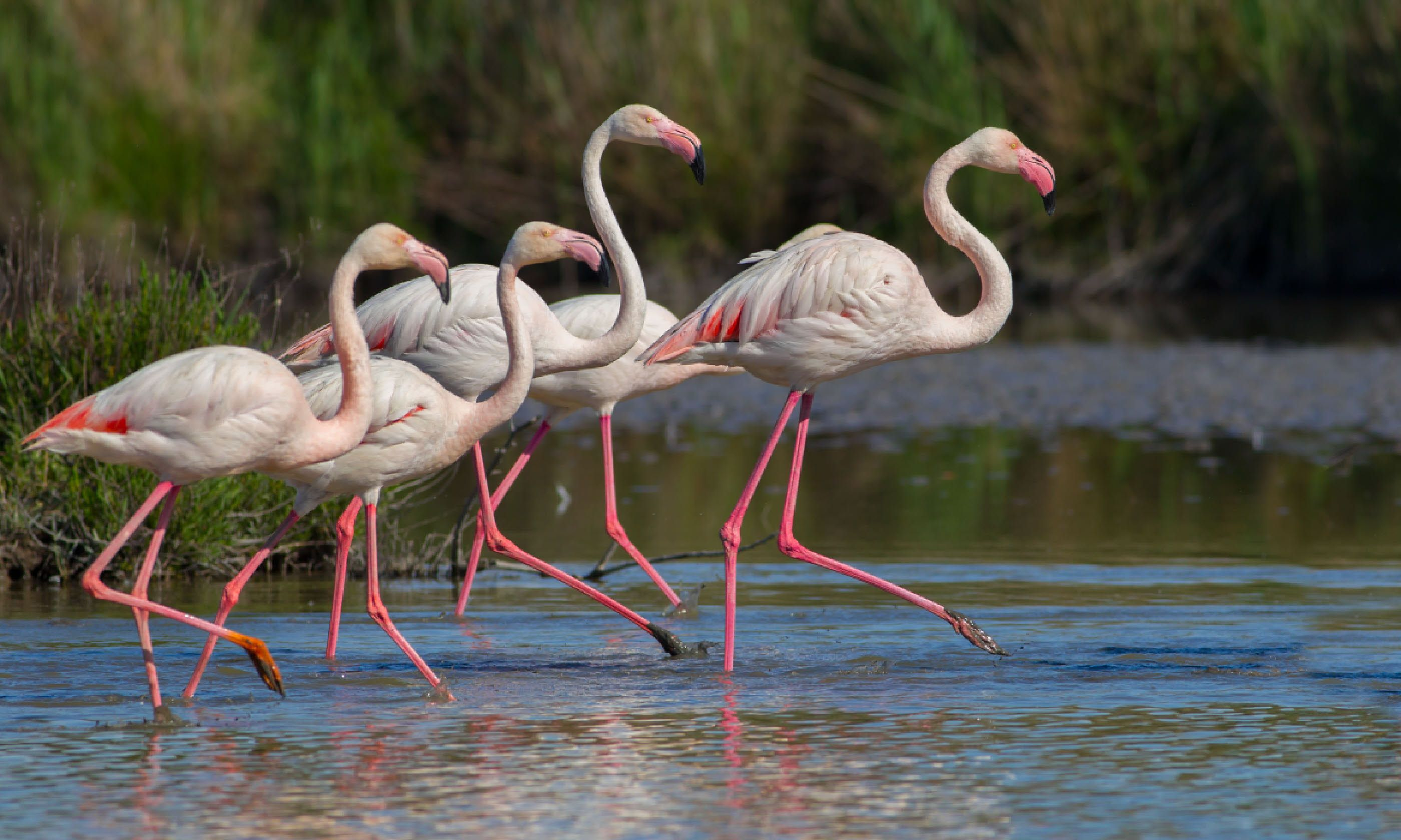 Flamingos in Arles (Shutterstock)