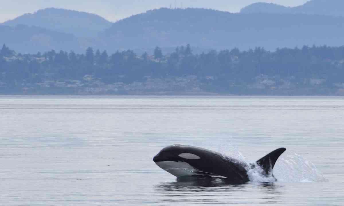 Killer whale off the coast of Victoria (Shutterstock)