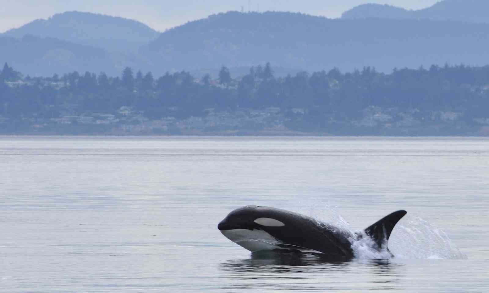 Killer whale off the coast of Victoria (Shutterstock)