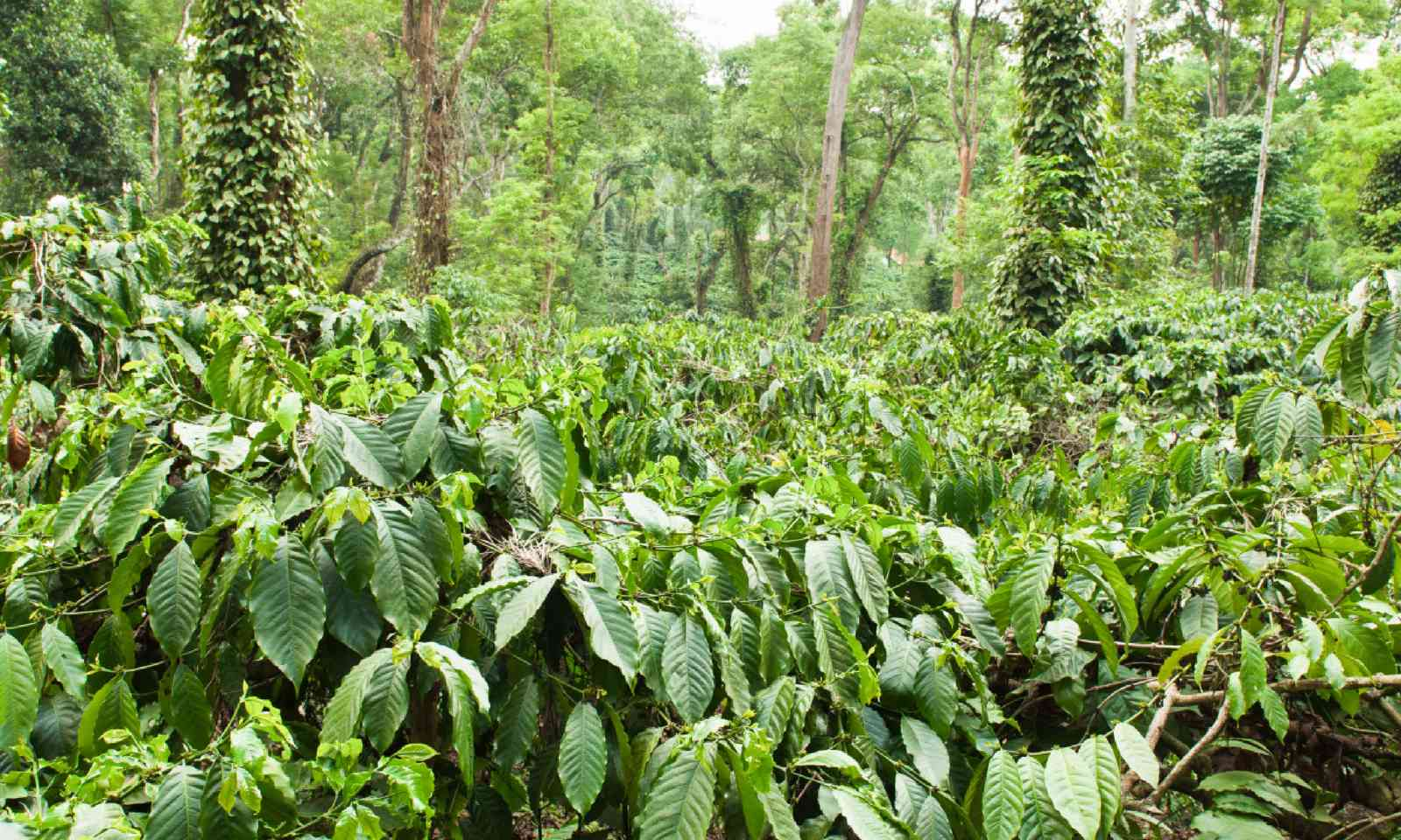 Coffee plantation in Coorg, India (Shutterstock)