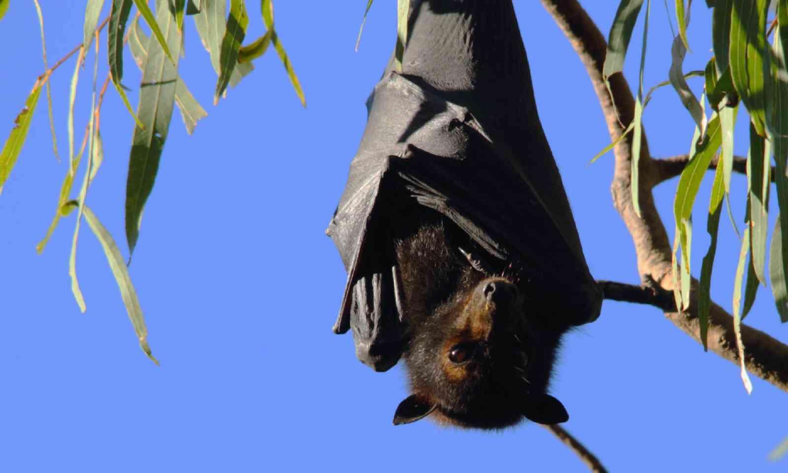 Flying fox in Queensland (Shutterstock)