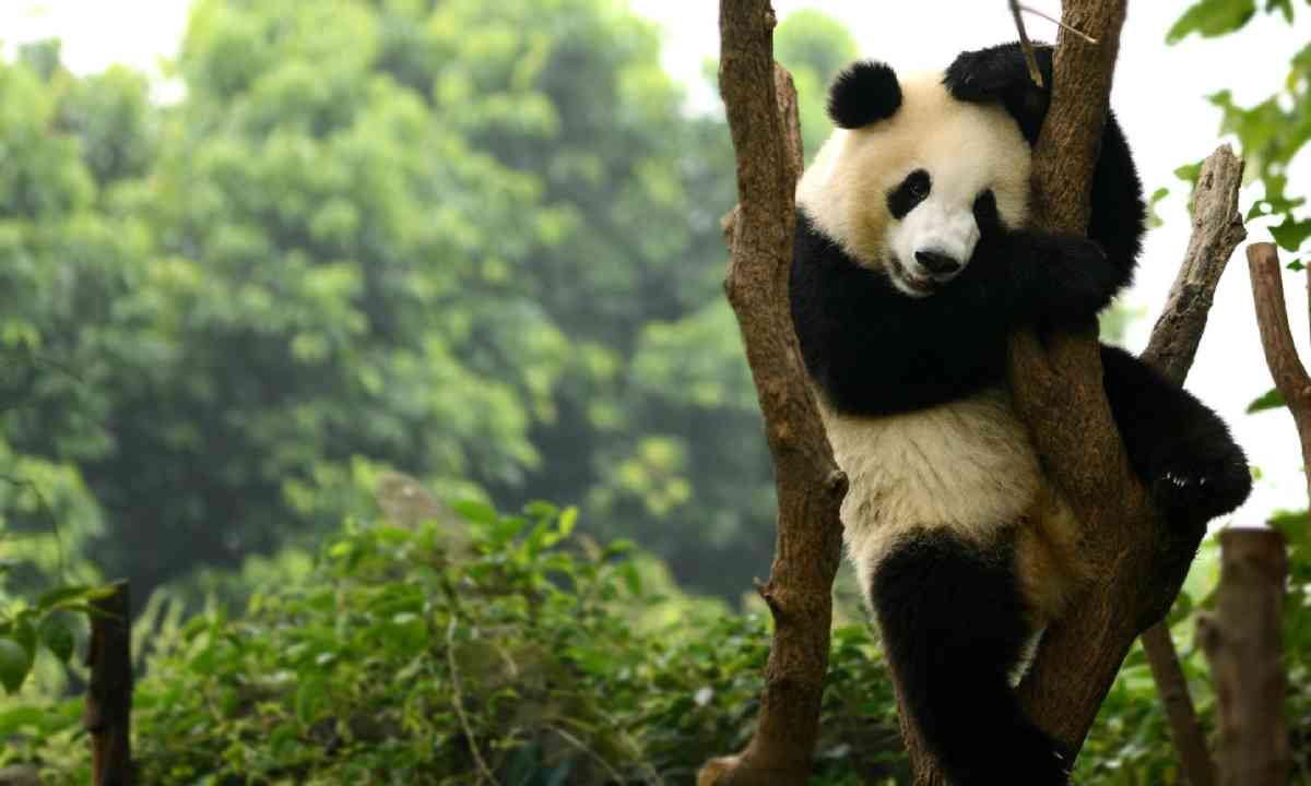 Chengdu panda (Shutterstock)