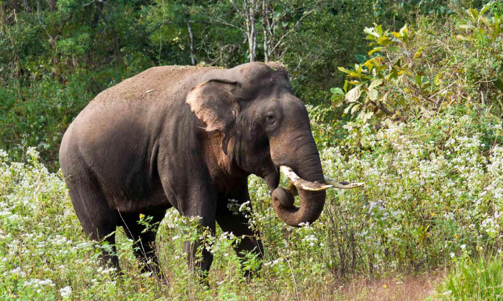 Indian elephant in Wayanad Wildlife Sanctuary (Shutterstock)