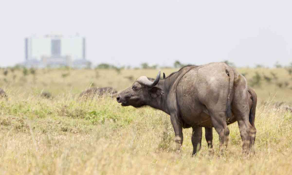Cape Buffalo in Nairobi National Park (Shutterstock)