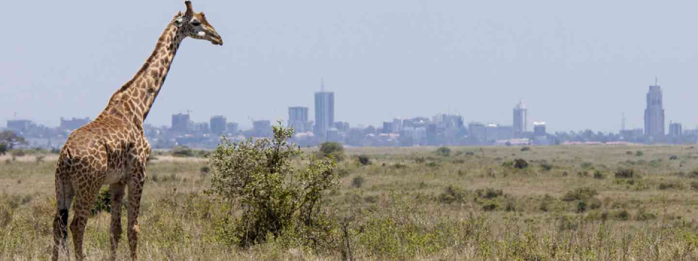 Giraffe in Nairobi National Park (Shutterstock: see credit below)