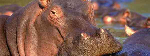 See wild game, including hippos on a horseback safari (South Africa Tourism)