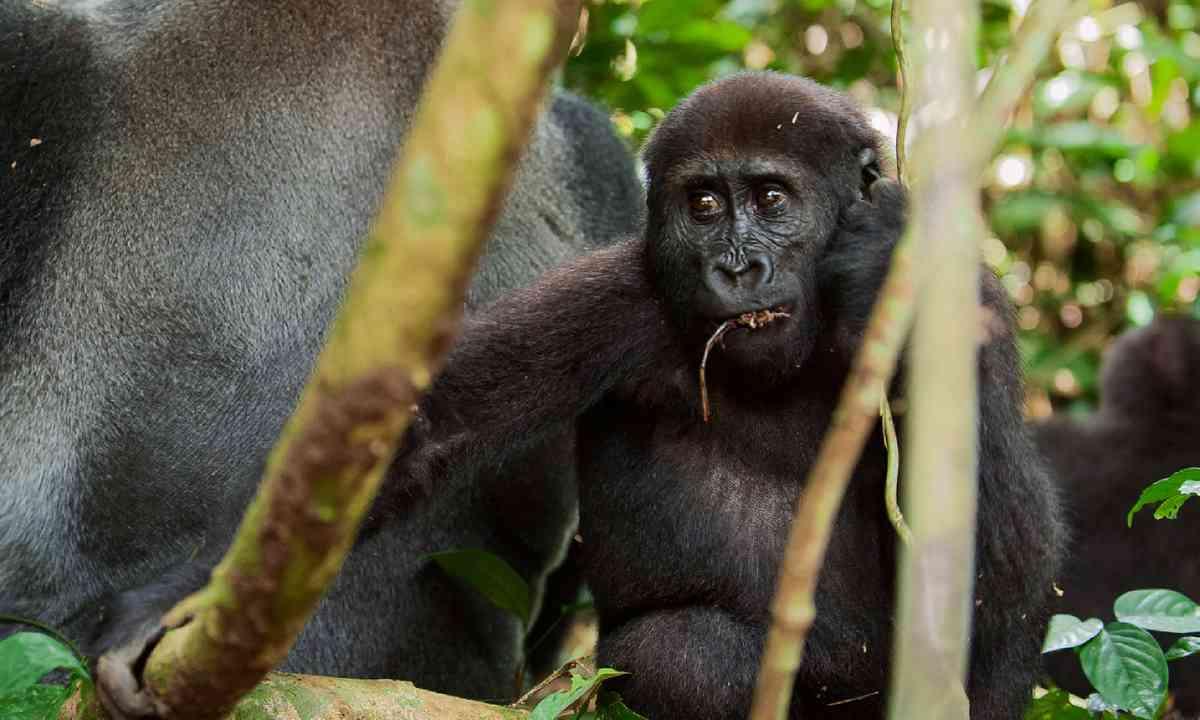 Western Lowland Gorilla adult male (Shutterstock)