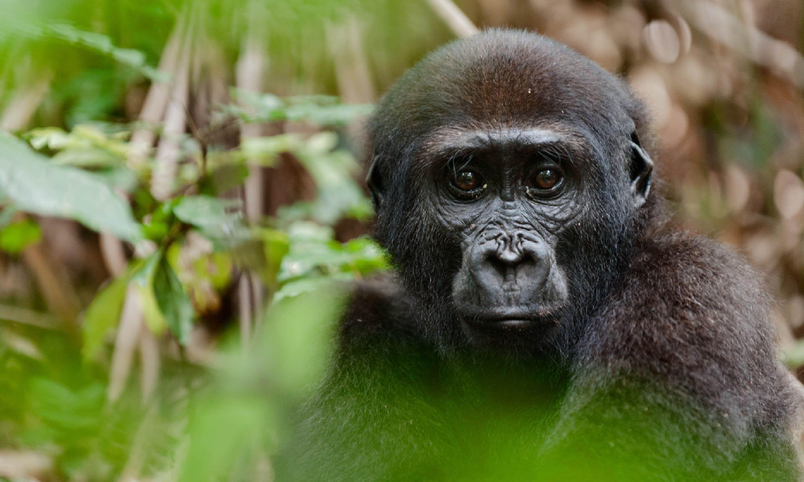 Western Lowland gorilla, Congo (Shutterstock)