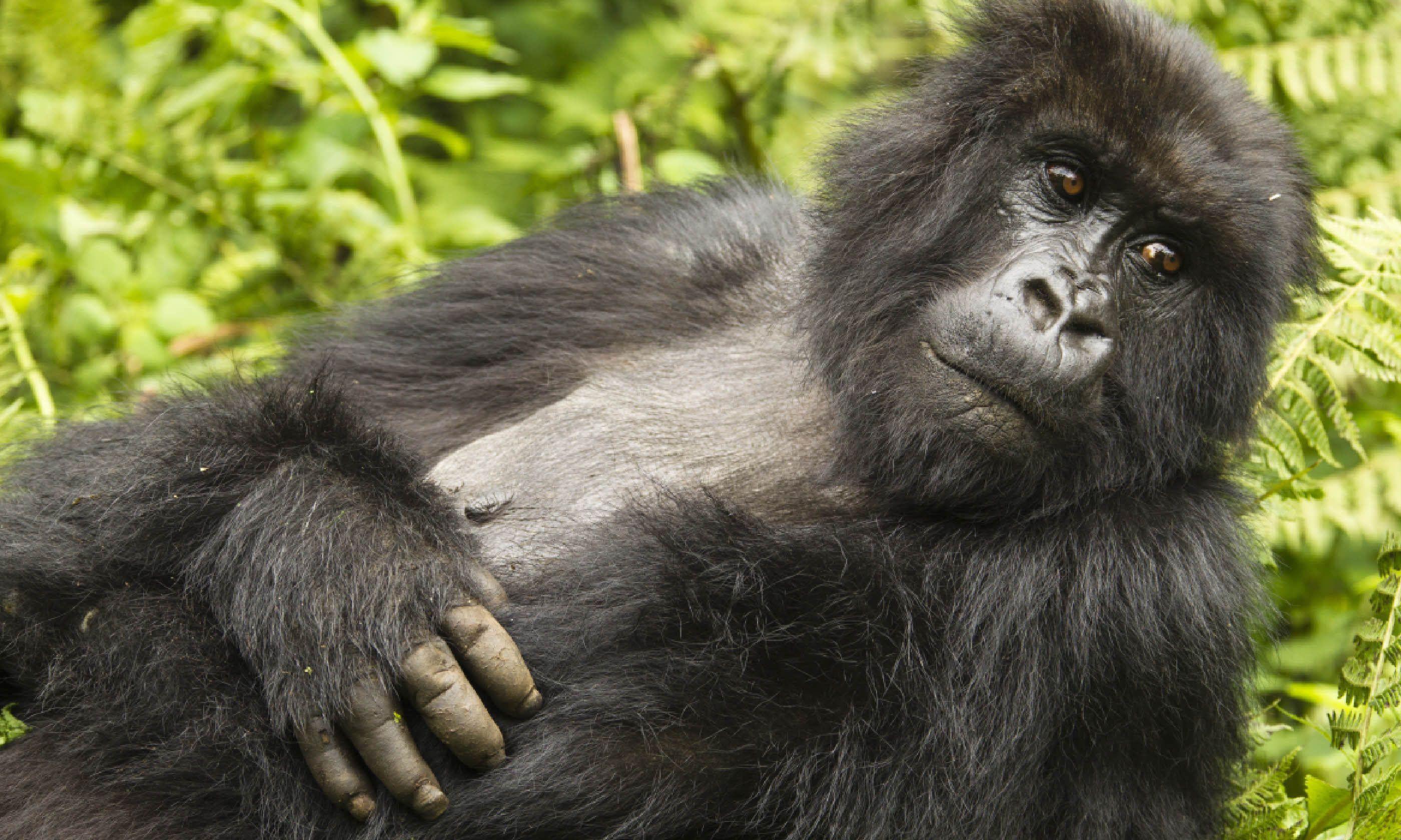 Umubamo Group mountain gorilla, Volcanoes National Park, Rwanda (Shutterstock)