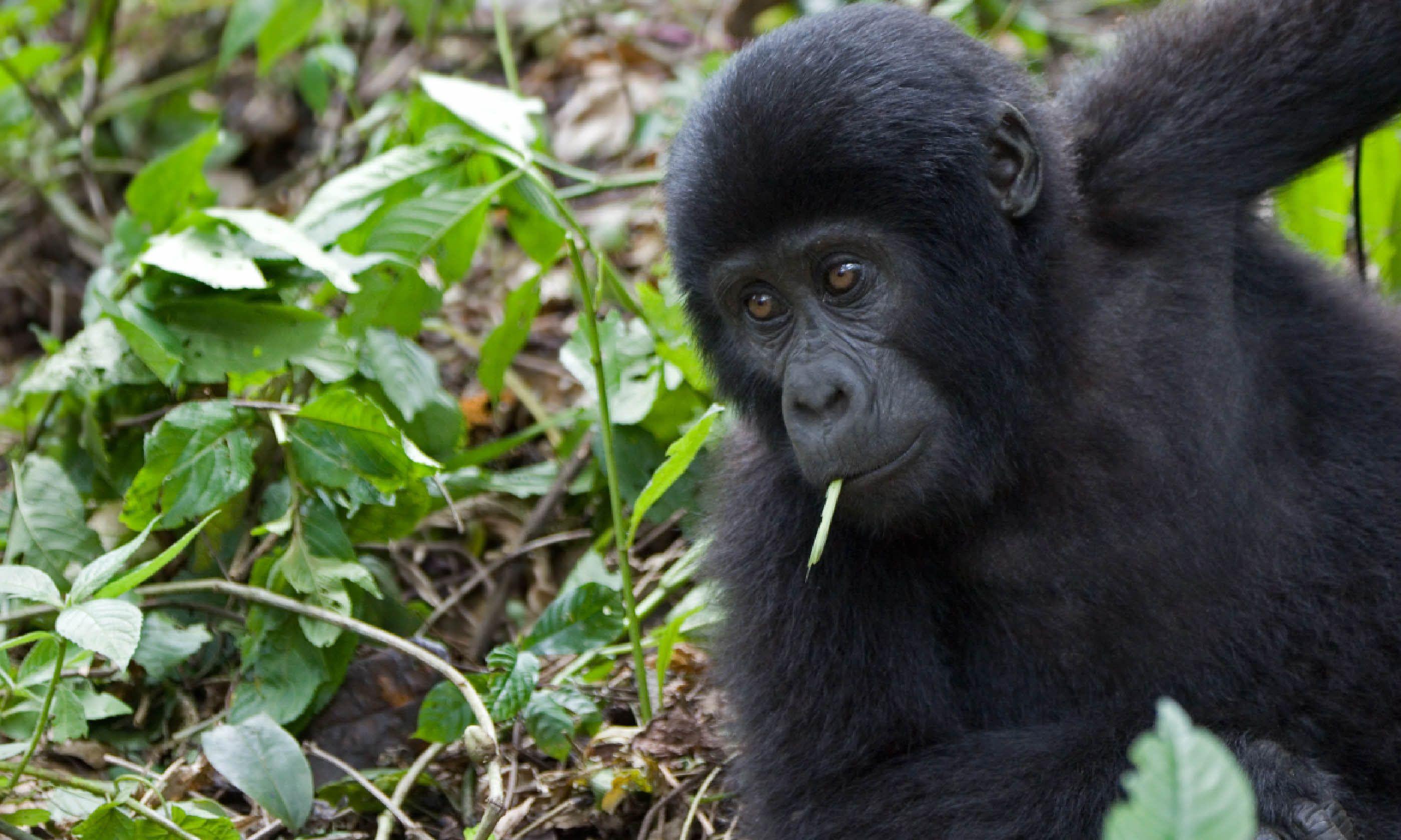 Mountain gorilla, Uganda (Shutterstock)
