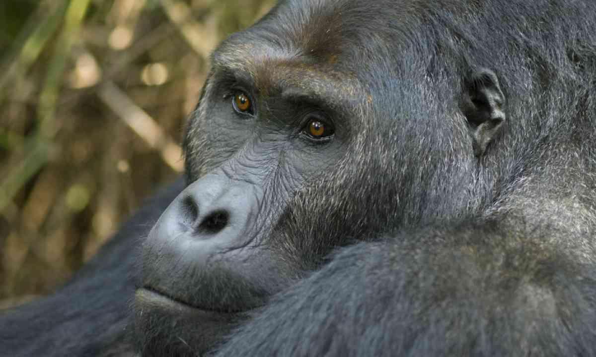 Eastern Lowland Gorilla, DRC (Shutterstock)