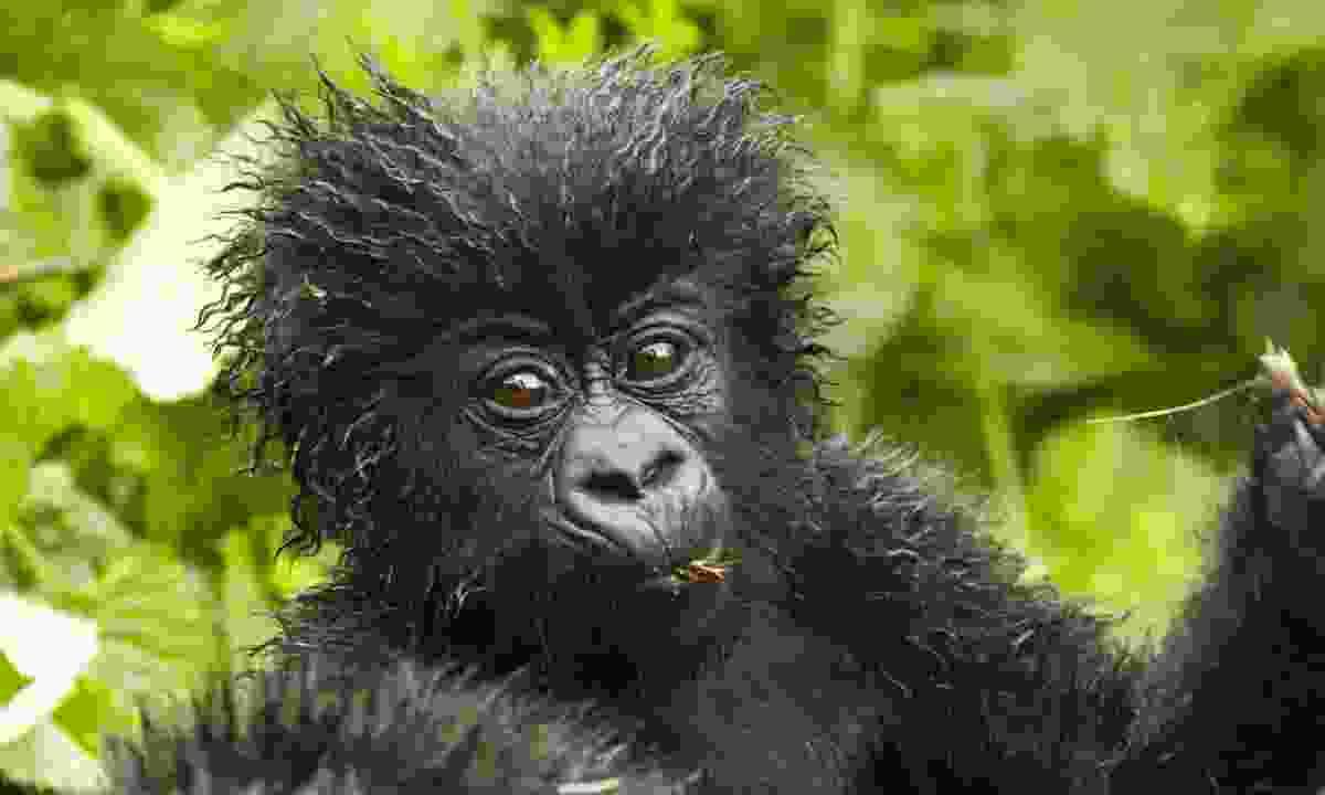 Mountain gorilla, Volcanoes National Park, Rwanda (Shutterstock)