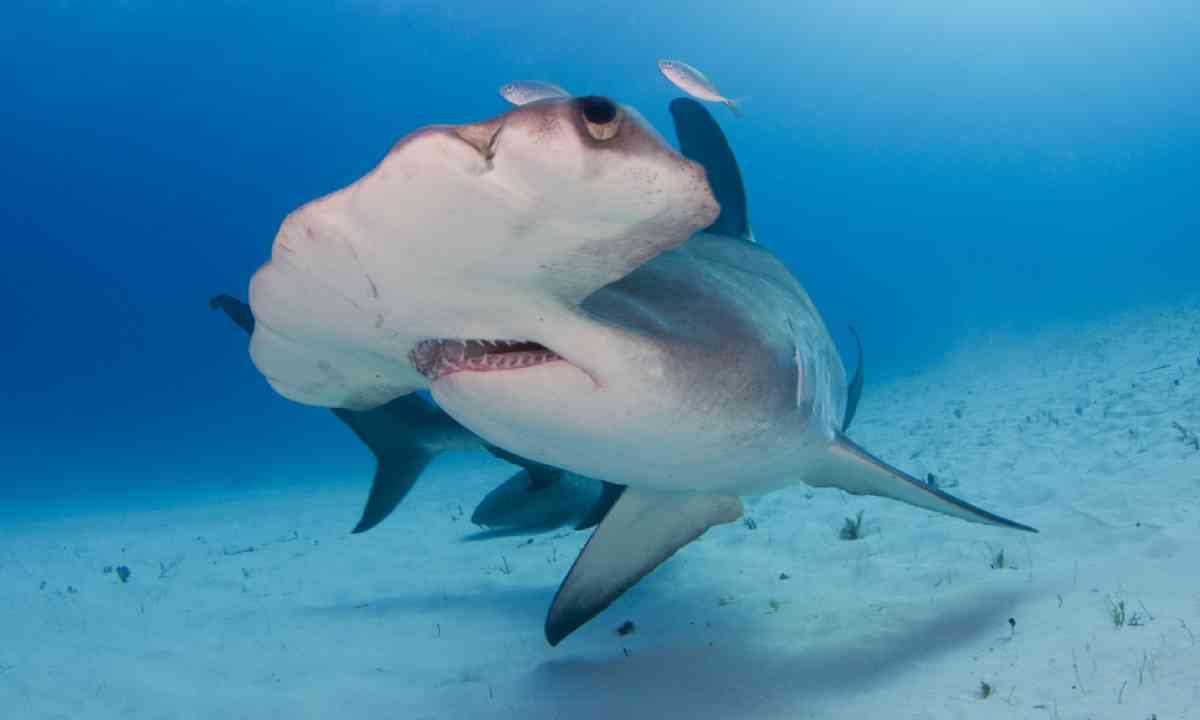 Hammerhead shark in Bimini, Bahamas (Shutterstock)