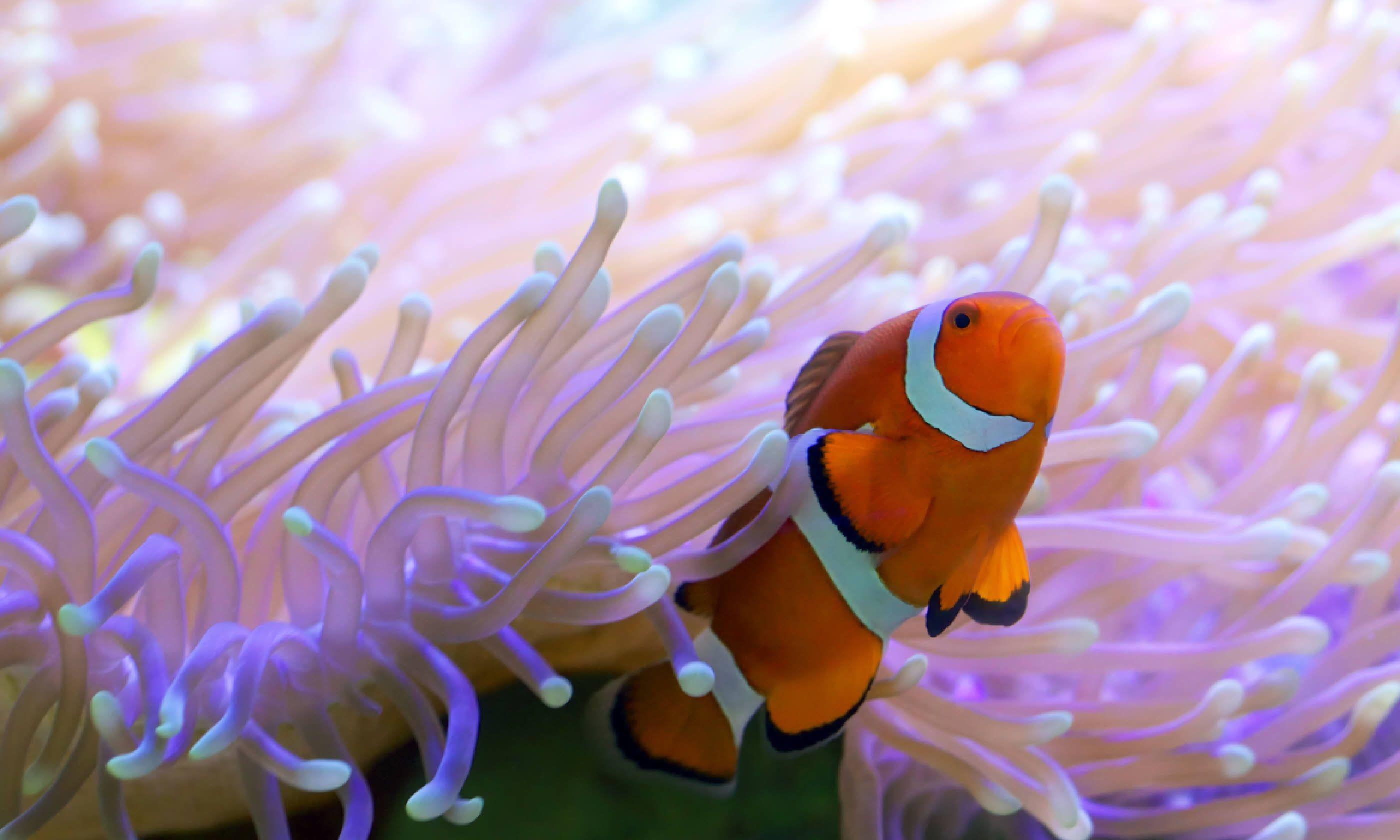 Clown fish hiding in colorful anemone (Shutterstock)